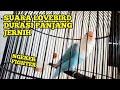 Pancing Lovebird Suara Jernih Full Durasi Panjang  Mp3 - Mp4 Download