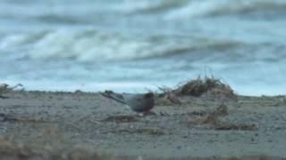 ハシグロクロハラアジサシ(1)稀な旅鳥(モンゴル) - Black Tern - Wild Bird - 野鳥 動画図鑑