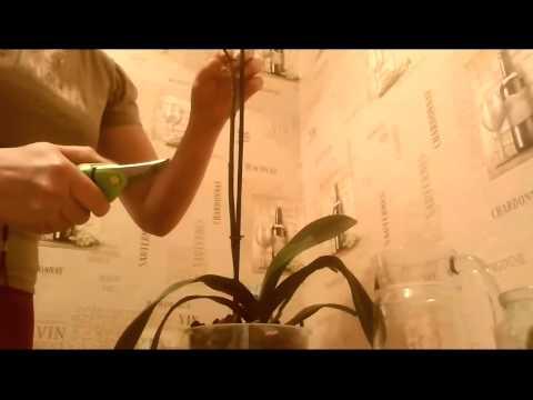 Как остановить пожелтение цветоноса фаленопсиса