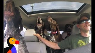 EXCITED Dogs in Car Can't Stop Howling For The Park | The Dodo