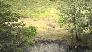 Canis lupus italicus (cuccioli)