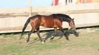 Продается лошадь. Дуглас, 2004г.р Рост 165см. Цена 100тыс.