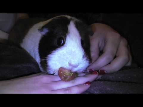 How Quick Can A Guinea Eat A Cherry Tomato?