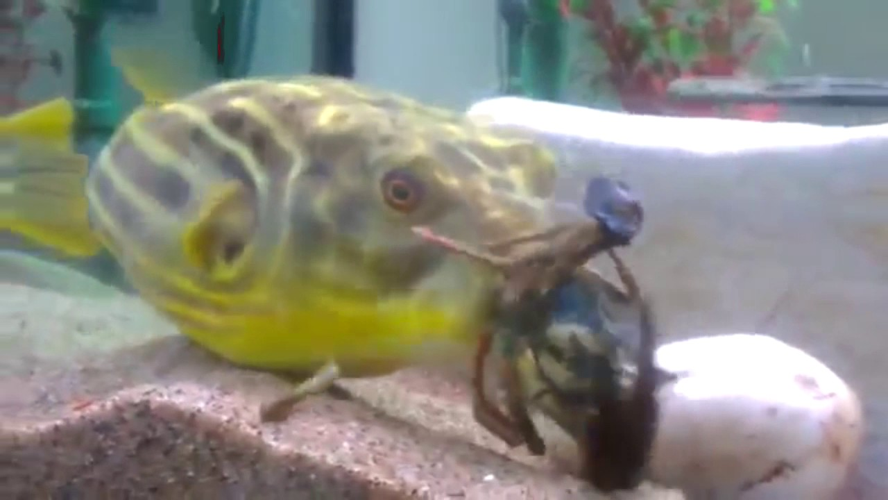 Ghetto pufferfish eats crayfish funny voiceover youtube for Safest fish to eat 2017