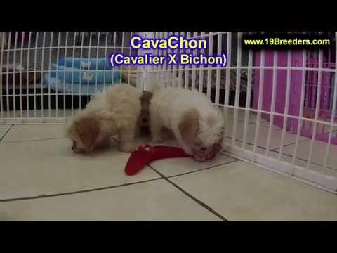 CavaChon, Puppies, For, Sale, In, East Honolulu, Hawaii, HI, Makaha, Pukalani, Haiku Pauwela, Maili,