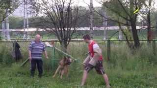 Дрессировка собак, ЗКС, обучение фигуранта, занятие 1