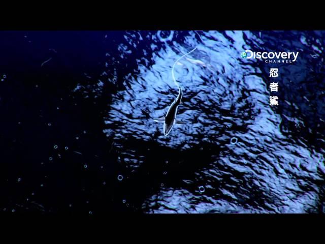 Discovery忍者鯊 002長尾鯊完美的設計讓牠能毀滅獵物 HD MP4檔