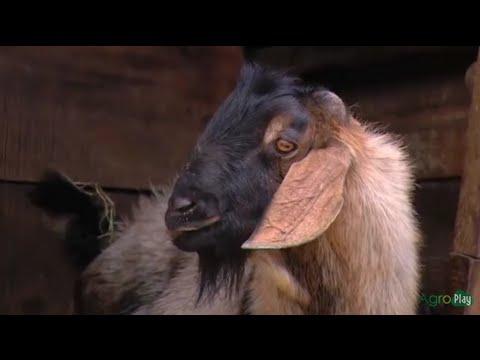 Cómo Criar Cabras, Reproducción y Mejoramiento Genético - TvAgro por Juan Gonzalo Angel
