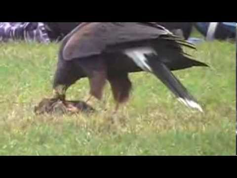 Jennifer Pena - Isabo Harris Hawk - Hunting - 024