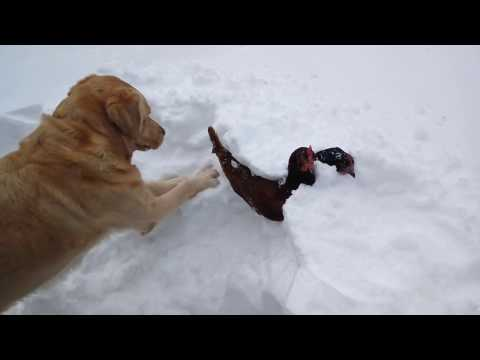Dog saves chickens from snow bank. (Original)
