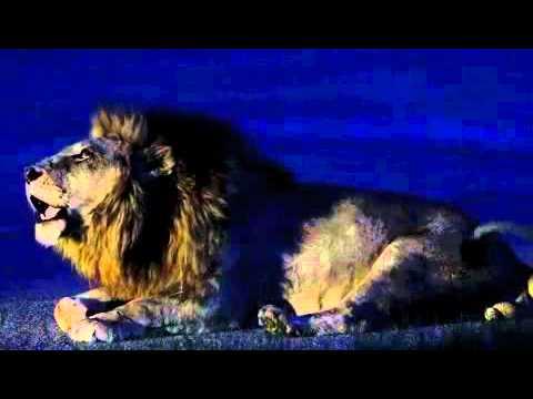 lion roaring loud HD - YouTube
