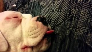 American Bulldog Zelda Sleeping With Her Tongue Out