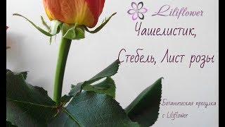 Ботанический разбор (строение) розы (чашелистик, стебель, шипы, лист)