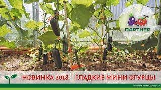 нОВИНКА 2018 ГЛАДКИЕ МИНИ ОГУРЦЫ