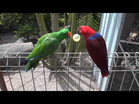 male eclectus parrot trying to pinch the ball from the female