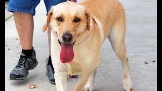 Mason, A Playful 3-year-old Yellow Labrador Retriever Adopted In Manahawkin, Nj