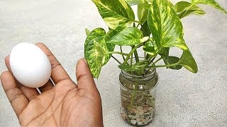 Best natural fertilizer for any water plants | Homemade free fertilizer