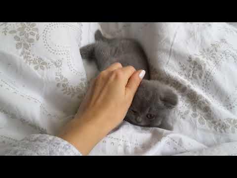 British Shorthair. Should I go to sleep? * cattery Calmcat