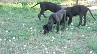 Great Dane Puppies 14 Weeks Old
