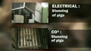 Pig slaughter- Comparison of different stunning methods used