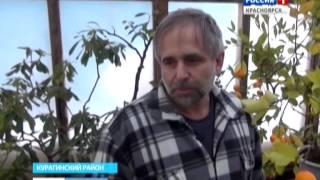 Житель Курагинского района вырастил в теплице мандарины и лимоны