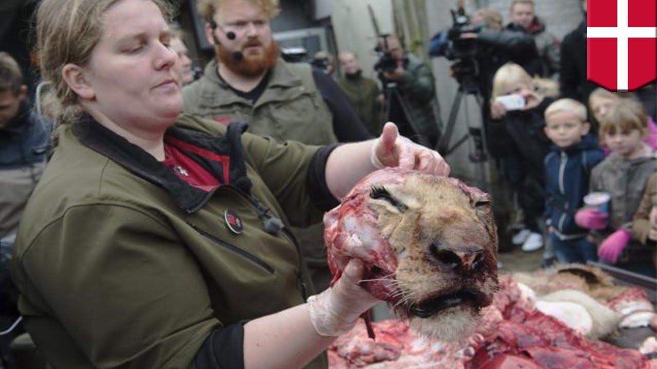 Датский зоопарк провёл показательное расчленение льва