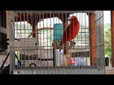 Canarino Agata rosso intenso che canta (CANTO) canario. la mia nuova sveglia singing canary