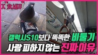 [지식세끼]갤럭시 S10보다 똑똑한 비둘기 사람 피하지 않는 진짜이유