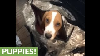 Basset Hound in suitcase is ready to travel