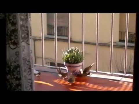 Gorriones en mi balcon youtube for Ahuyentar palomas del balcon