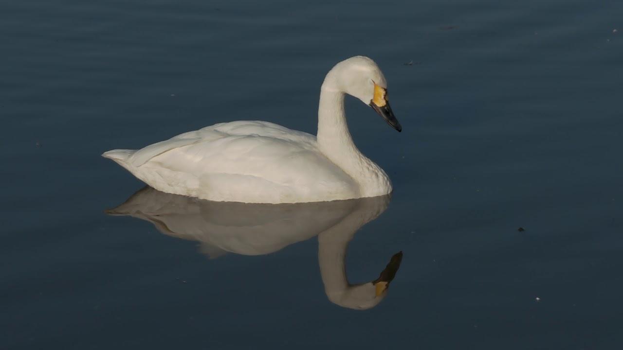 眠くてたまらない白鳥さん・Swan who is sleepy and irresistible