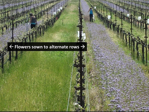 Habitat Modification to Enhance Biological Control of Vineyard Leafhoppers