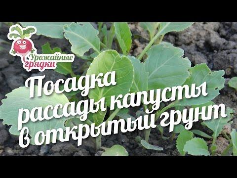 Посадка рассады капусты в открытый грунт #urozhainye_gryadki