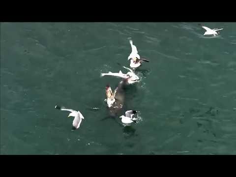 Sea Lion Eats Fish, Possibly Small Shark, San Francisco Bay