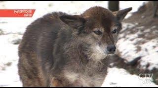 В Беларуси голодные волки вплотную подходят к домам людей | Звери держат в страхе целые деревни