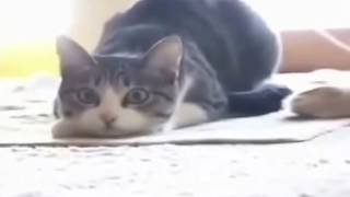 Cat dancing Vego Vego full song