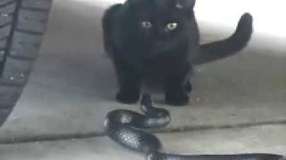 ザ・路地裏バトル!!黒色の野良猫と、偶然出くわした黒ヘビとのにらみ...