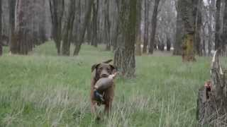 Chesapeake Bay Retriever Evgenika https://www.facebook.com/pages/Ch...