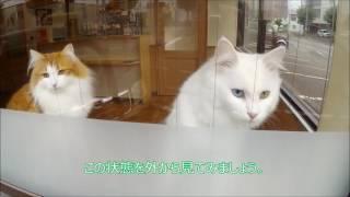旭川市東光のほんむら動物病院で飼われている2匹の猫(メインクーンとノ...