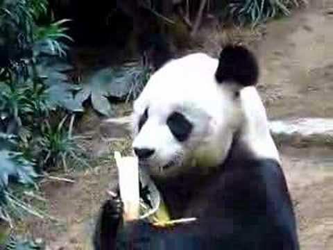 Panda An An at Ocean Park Hong Kong 1