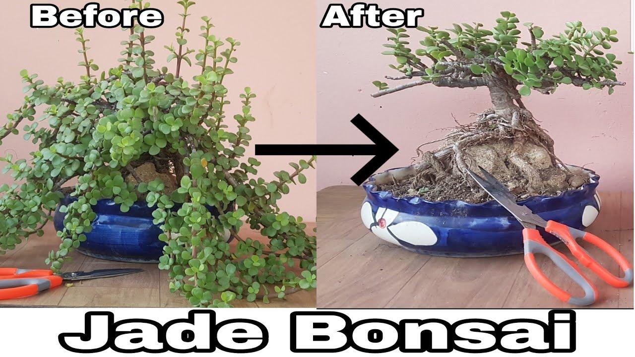 how to make a jade plant bonsai