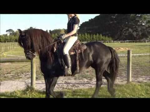 CavalloNero Friesians - For Sale