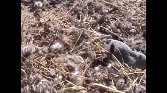 HUGE! harvester ant mound, see it before it gets destroyed, arizona wild!