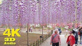 Ashikaga Flower Park あしかがフラワーパーク Wisteria Festival 2018 4K