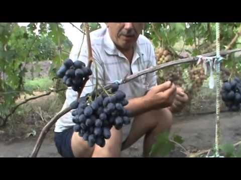 Описание сортов винограда раннего, среднего и позднего