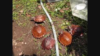 トゲヤマガメ(棘山亀、Heosemys spinosa)