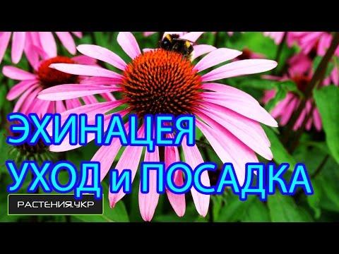 видео: Эхинацея посадка и уход / выращивание эхинацеи из семян