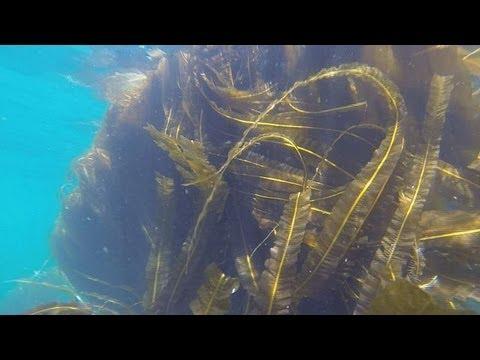 Seaweed: sea fuel? - futuris