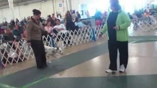 Cabrillo Kennel Club Show Dalmatian