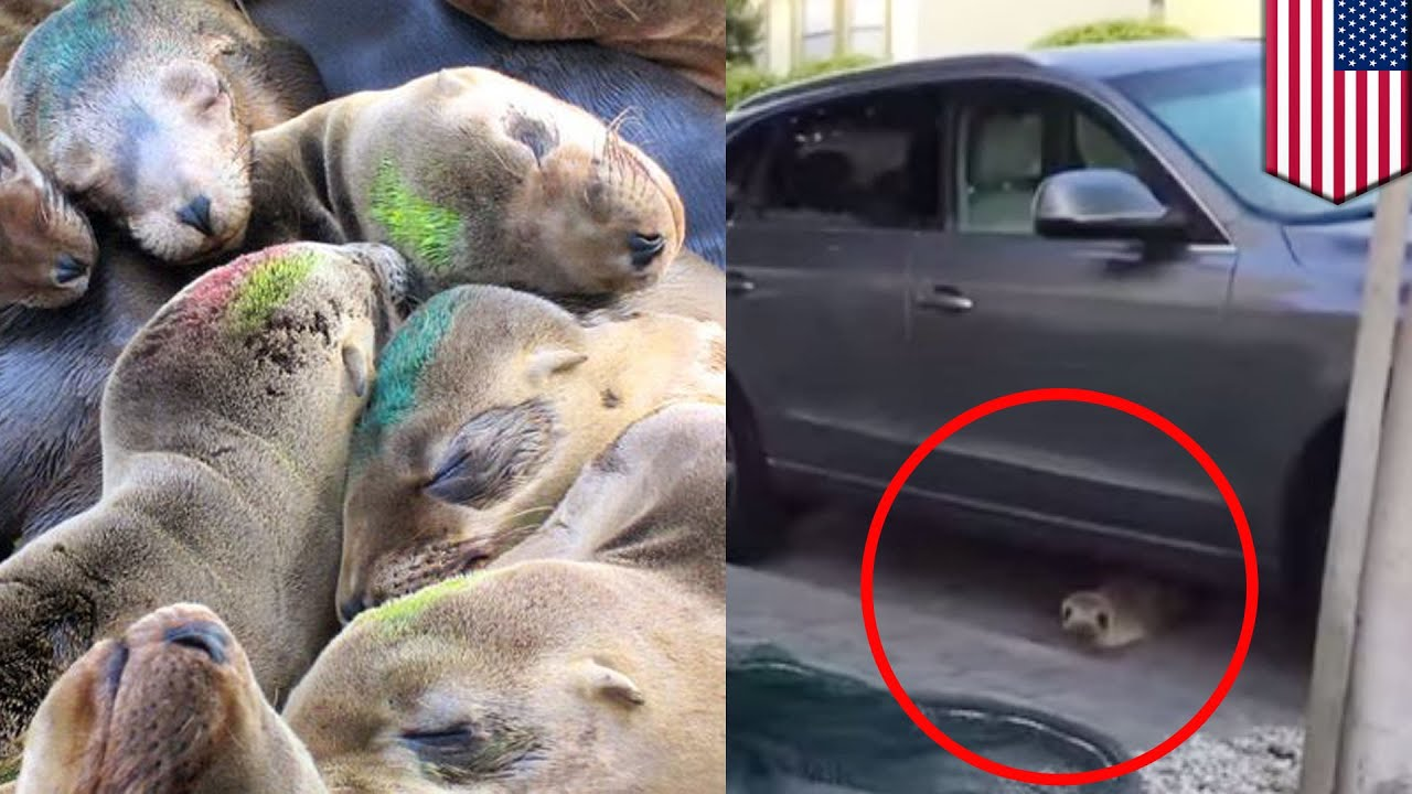 Sea lion pup rescue rubbish saved after wandering the streets of sea lion pup rescue rubbish saved after wandering the streets of san francisco tomonews publicscrutiny Images